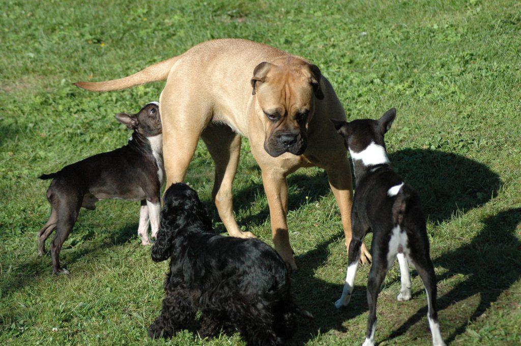 hund bjeffer på andre hunder